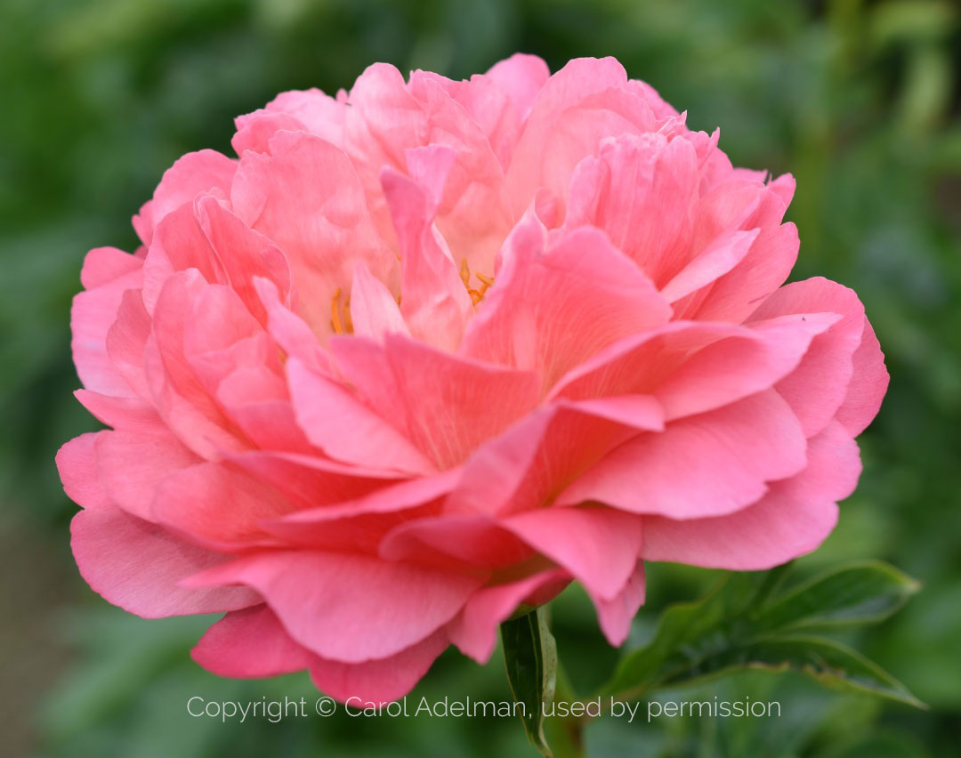 The Canadian Peony Society 2019 Peony of the Year: Coral Sunset. Photo © Carol Adelman